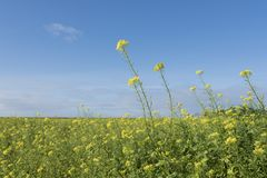 Yellow flowers of mustard seed in field Royalty Free Stock Images