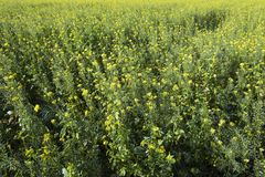 Yellow flowers of mustard seed in field Royalty Free Stock Image