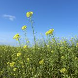 Yellow flowers of mustard seed in field Royalty Free Stock Photo