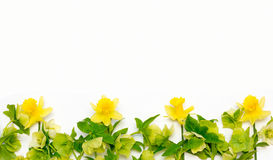Yellow flowers of Narcissus and hellebore white background Stock Photo
