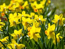 Yellow flowers narcissus stock photos