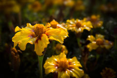 Yellow flowers. Royalty Free Stock Photos