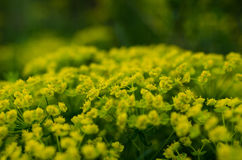 Yellow flowers nature background Royalty Free Stock Images