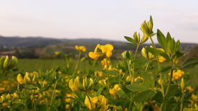 Yellow flowers in nature. Picture of yellow flowers in nature stock photo