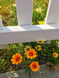 Yellow flowers near fence. Yellow and orange flowers near the white wooden fence Stock Image