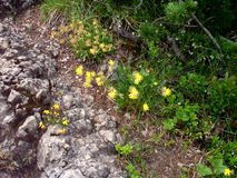 Yellow flowers. Near the hiking trail Stock Image