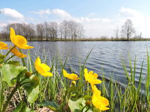 Yellow flowers near lake, Lithuania Royalty Free Stock Photography