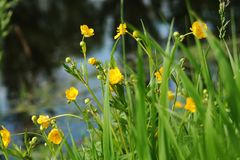Yellow flowers near the lake. royalty free stock image