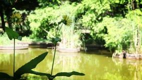 Yellow Flowers near lake. Video footage stock footage