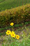 Yellow Flowers near a vineyard in chianti region, tuscany Stock Photos