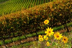 Yellow Flowers near a vineyard in chianti region, tuscany Royalty Free Stock Image
