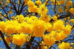 Free Yellow Flowers Of Tree Tabebuia Aurea Stock Photos - 42045583