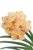 Yellow flowers of an orchid vanda Stock Photo