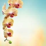 Yellow flowers orchids isolated on white Stock Image