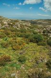 Yellow flowers over bushes and rocks. Pretty yellow flowers scattered around green underbrush and rocks on highlands, in a sunny day at the Serra da Estrela. The royalty free stock photography