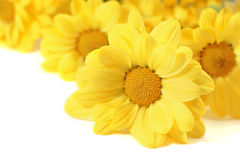 Yellow flowers over white. Lovely yellow flowers over white background with empty place Stock Images