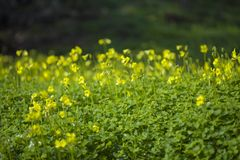 Yellow flowers of Oxalis pes-caprae, Bermuda buttercup. Invasive species and noxious weed Royalty Free Stock Photo