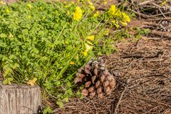 The yellow flowers Oxalis pes-caprae goats-foot and one brown bump and one gray stump on the brown pine needles background stock photography