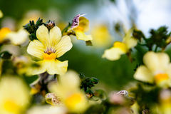 Yellow flowers pansy Stock Photography