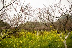 Yellow flowers and peach trees stock photo