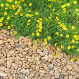Yellow flowers and pebble stone Royalty Free Stock Photos