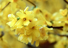 Yellow flowers. Photography close, the background is not clear Royalty Free Stock Images