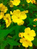 Yellow Flowers. A plant with yellow flowers Stock Images