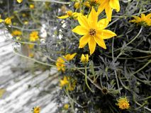 Yellow flowers on plant Royalty Free Stock Photo