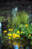 Yellow flowers in the pond. A closeup of some floating plants and grass in a pond in a Lithuanian forest. Little yellow flowers grow from the floating plants Royalty Free Stock Image