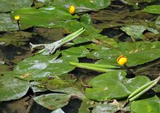 Yellow flowers in the pond of water plant called NUPHAR LUTEA Royalty Free Stock Images