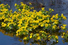Yellow flowers in  pool in  spring Stock Photos