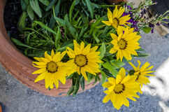 Yellow flowers  in the pot. Yellow flower in the pot Stock Images