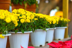 Yellow flowers in pot Royalty Free Stock Images