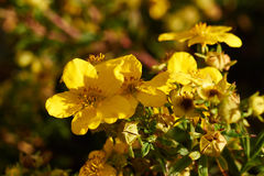 Yellow flowers on potentilla bush. In the sun Royalty Free Stock Images