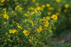 Yellow flowers of potentilla fruticosa royalty free stock image