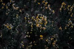Gorse Bushes in Flower. The yellow flowers of the prickly gorse bushes Royalty Free Stock Images