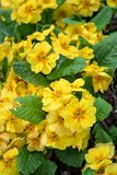 Yellow flowers of primrose plants blooming in a home garden as a background, springtime in the Pacific Northwest stock photo