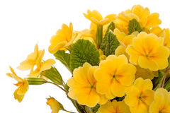 Yellow flowers Primula Stock Image