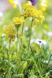 Yellow flowers primula veris .False Oxlip - Primula x polyantha Stock Photo