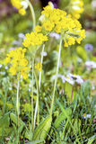 Yellow flowers primula veris .False Oxlip - Primula x polyantha. A yellow blooming primula surrounded by many cowslip flowers (Primula vera) on a meadow in stock images