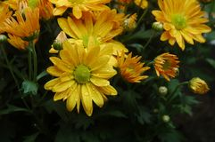 Yellow flowers with raindrops Royalty Free Stock Photography