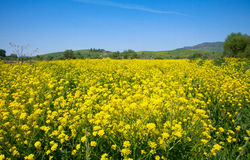 Yellow flowers of rape Stock Image