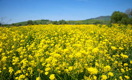 Yellow flowers of rape Stock Photo