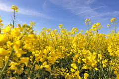 Yellow flowers of. Close on beautiful yellow flowers of in a field stock photo