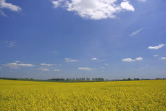 Yellow flowers of rapeseed Stock Photo
