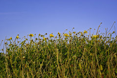 Yellow Flowers Reaching for Blue Sky. Yellow sunflowers reaching up from field into a blue sky Stock Photo