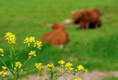 Yellow flowers and resting cows Royalty Free Stock Image