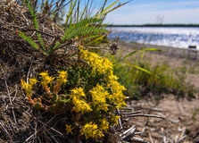 Yellow flowers on river bank. Yellow flowers on the river Bank. Arkhangelsk oblast in Northern Russia Stock Image