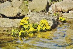 Yellow flowers in the rocks above the river Royalty Free Stock Photos