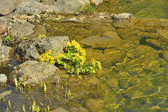 Yellow flowers in the rocks above the river Stock Photography